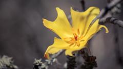 Amancay   Balbisia peduncularis (Jos L.Gutirrez) Tags: chile flower nature desert flor desierto amancay balbisia