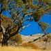 Golden Hillside Oak