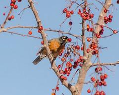 American Robin (Robinsegg) Tags: utah saltlakecity americanrobin redbuttegardens turdusmigratorius