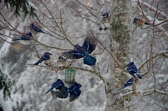 Blue Jays at the suet feeder (kimshand) Tags: blue bird nova jay ns birding scotia