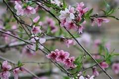 Blossoms of Spring (maorlando - God keeps me as I lean on Him!!) Tags: flowers usa spring texas blossoms blooms