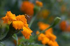 Bee and Flower Bokeh II (siraf72) Tags: flowers orange macro bahrain bees micro