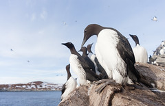 """Water looks cold...Don't feel like fishing..."" (L.Mikonranta) Tags: color bird birds norway canon eos cosina wideangle 5d pancake common voigtlnder mkii markii guillemot murre skopar norja vard uria aalge varanger 20mmf35 canoneos5dmarkii hornya slii etelnkiisla 5d2 5dii 5dmkii canoneos5dmkii 5dmk2 5dmark2 canoneos5dmark2 voigtlnder20mm voigtlndercolorskopar2035slii copyrightlm voigtlnder2035 uriaal"