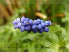 in a short rainbreak (muscari) (nirak68) Tags: spring raindrops frhling muscari regentropfen imgarten traubenhyazinthe asparagaceae spargelgewchs