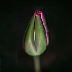 Magenta tulip // 05 04 14 (Manadh) Tags: pink flower spring closed pentax magenta 11 tulip tamron 90mm k3 shallowdof project365 manadh pinktulup