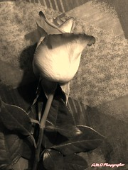 My Personal Valentine (PhotoJester40) Tags: outdoorsindoors outsideinside indoors inside rose roseinsepia beautiful valentinesgift valentinespresent flower sepia beautifullydone pretty amdphotographer