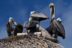 A Pod of Pelicans (bmasdeu) Tags: pod birds brown pelicans grooming snooze tropical grass hut funny thekeys islamorada key