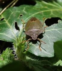 Palomena prasina (rockwolf) Tags: palomenaprasina greenshieldbug punaise hemiptera heteroptera pentatomidae insect uptonmagna shropshire rockwolf