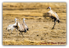 Let's Dance! (ctofcsco) Tags: 12000 63 7d 7dclassic 7dmark1 7dmarki 800mm canon colorado curtsey dance dancing ef400mm ef400mmf28liiusm ef400mmf28liiusm20x eos7d 2017 alamosa birds cranes explore explored geo:lat=3745997671 geo:lon=10614014486 geotagged image landscape migration montevista montevistanwr nationalwildliferefuge nature northamerica photo photograph pic picture sandhillcrane spring wildlife wwwmvcranefestorg zinzer extender extender2x extender2xii f63 jump pretty renown sanluisvalley sandhillcranefestival sandhillcranes supertelephoto teleconverter telephoto unitedstates usa bird