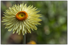 Paper Daisy...the happy flower (RissaJT_23) Tags: flower paperdaisy plant garden growing yellow melbournezoo canon canon6d canoneos6d canon70200mm gardening happy happyflower
