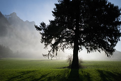 Let there be light (Toni_V) Tags: m2403353 rangefinder digitalrangefinder messsucher leica leicam mp typ240 type240 28mm elmaritm12828asph hiking wanderung randonnée escursione stluzisteig graubünden grisons grischun switzerland schweiz suisse svizzera svizra europe tree baum nebel fog mist frühling spring backlight alps alpen ©toniv 2017 170325