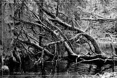 mystic pond (friedrichfrank1966) Tags: pond bw forest nature wald bäume trees water wasser monochrome einfarbig schwarzweis outdoor mystic nikon d90 sigma 24105 naturepicture details whitebalance rahmen teich weiher