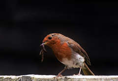 The early bird (10000 wishes) Tags: bird robin worm nature wildlifephotography redbreast breakfast