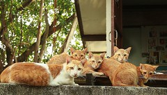 five orange cats on top of a wall (the foreign photographer - ฝรั่งถ่) Tags: five orange cats wall top khlong thanon bangkhen bangkok thailand canon kiss