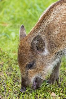 Sus scrofa / Wild boar / Вепрь / Vildsvin
