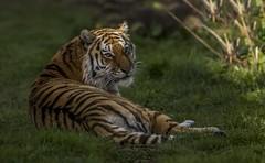 The Magnificent Tschuna-2 (tiger3663) Tags: amur tiger tschuna magnificent yorkshire wildlife park