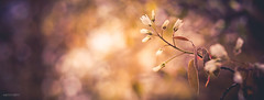 (N.H. || Photography) Tags: olympus omd em 10 mzuiko 60mm f28 makro macro nature natur dof bokeh muted spring sparkle forest sun tree flower