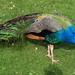 Holland Park peacock