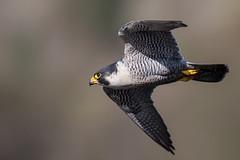 Peregrine Falcon (cliveyjones) Tags: peregrinefalcon peregrine falcon