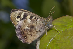 _IMG8608 Speckled Wood Butterfly ( In Explore) (Pete.L .Hawkins Photography) Tags: speckled wood butterfly pentax petehawkinsphotography petehawkins petelhawkinsphotography pentaxmacroinsects pentax100mmmacro k1 fantastic nature