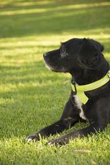 Chucho majestuoso #1 (palm z) Tags: alicante españa spain hierba yerba césped perro