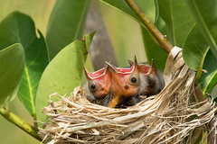 Twee Tweets Pweez (Jamie Felton Photo) Tags: green spring nest baby birds redwingedblackbird fresh nature joy sony70400g agelaiusphoeniceus chicks specanimal sony a77mll