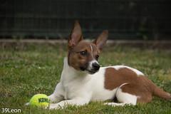 pongo-18 (39Leon) Tags: pongo cane dog cagnolino jack russel jackrussel funny dogball cipollo canegioca littledog portraitdog portrait freedog