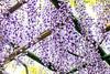 DSC_1678 (sayo-tsu) Tags: 藤 wisteria 牛島のフジ 春日部市 埼玉県 kasukabe saitama 特別天然記念物
