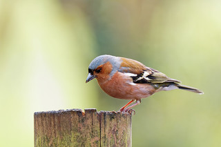 Pinsà - Pinzón vulgar - Common chaffinch - Fringilla coelebs