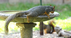 The Lazy Way To Get A Drink (Kaptured by Kala) Tags: sciurusniger foxsquirrel squirrel garlandtexas birdbath coolingoff relaxing cool chillin drinking lazy