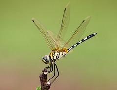 Dragonfly (mshubhajyoti) Tags: shubhajyotimohapatra shubhajyotiphotography wildlife wow ngc nikonian nikond5200 nikkorafp dragonfly