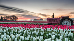 pink tractor under pink skies among pink flowers (Ben McLeod) Tags: graduatedndfilter johndeere mthood oregon woodenshoetulipfestival clouds dawn flowers sunrise tractor tulips