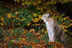 Waiting (Cloudtail the Snow Leopard) Tags: luchs lynx katze cat feline animal tier säugetier mammal beutegreifer predator wildpark pforzheim