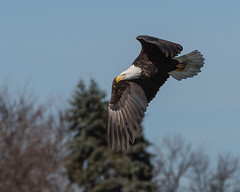 Classic Look... (ragtops2000) Tags: eagle bald mature flying fishing searching intense migrating stopover fast quick season nature wildlife raptor action lakemanawa iowa nikon200400f4 nikond500