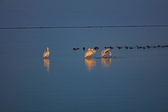 _40A6700 (ChefeGrande) Tags: texas gulfofmexico outdoor whitepelican flock wadingbird birdofprey twilightdusk reflection landscape silhouette sunset seashore serene seaside sea bay coastal coast ducks