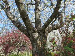 Blüten-Zauber (9) (Bea tedo) Tags: frühling baum blüte baumstamm