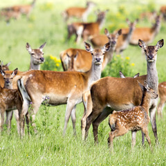 Oostvaardersplassen (Hans van der Boom) Tags: nederland netherlands ijsselmeerpolders flevopolder oostvaarderplassen animal deer herd doe young many lelystad nl