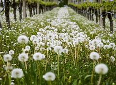 Pusteblumenfeld (kabafit25) Tags: pusteblume weinberg weinreben