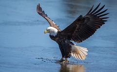 IMG_5677 Bald Eagle (Wallace River) Tags: baldeagleonice icefishing