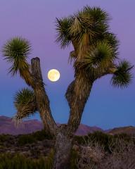 Joshua Tree Moonrise (tltichy) Tags: yuccavalley blue california desert full hidesert hills joshuatree magenta mojave moon moonrise mountains purple socal southern southwest tree twilight