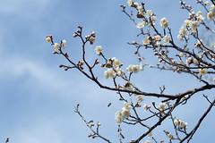 IMG_0647crs (kenta_sawada6469) Tags: flower flowers spring tree trees nature macro japan japanese japaneseapricot ume white