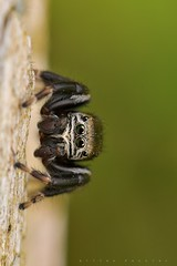Evarcha sp., mâle en faction sur un vieux piquet de clôture (Montgaillard) (G. Pottier) Tags: evarcha salticidae saltique jumpingspider araignéesauteuse araignée