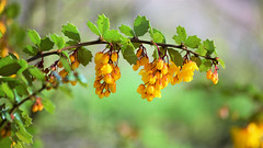 Berberis darwinii (Harry McGregor) Tags: shrub evergreen barberry dumfrieshouse nikon d3300 dof depthoffield bokeh harrymcgregor 17 april 2017 yellowflowers