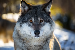 Wolf portrait (CecilieSonstebyPhotography) Tags: scandinaviangraywolf portrait winter closeup canon wolf animal norway gaze january whiskers norwegian canon5dmarkiii eyes eyecontact wolves bokeh markiii langedrag specanimal