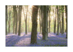 Shimmering Light, Bluebells (Geoff Kell (Old Forest Man)) Tags: woodland trees bluebells beechtrees dawn light