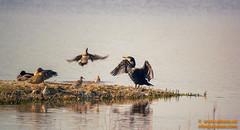 DSC01371.jpg (avi_olmus) Tags: viladecans deltadelllobregat elremolar aves barcelona animal catalunya españa es