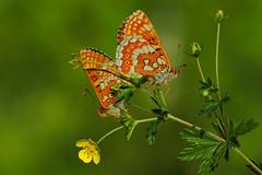 Euphydryas aurinia mating (2) (JoseDelgar) Tags: insecto mariposa euphydryasaurinia 425845798687506 josedelgar ngc coth alittlebeauty fantasticnature npc coth5 sunrays5