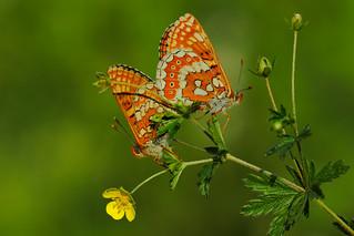 Euphydryas aurinia mating (2)