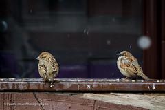 Look at me when I'm talking to you (Paul Henman) Tags: eastend focusongerrard torontophotowalks winter photowalk sparrow topw2017rs httppaulhenmanphotographyca 2017 bird toronto ontario canada paulhenmanphotographyca topw littleindia paulhenman