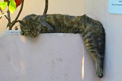 Key West (Florida) Trip 2016 2055Ri 4x6 (edgarandron - Busy!) Tags: florida keys floridakeys keywest cat cats kitty kitties tabby tabbies feline